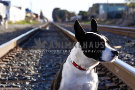 mix breed dog sitting on railway tracks gazing at distance