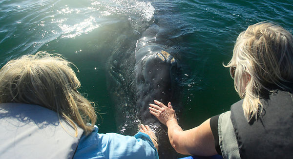Friendly Grey Whale Calf