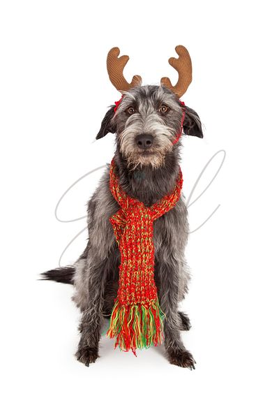 Scruffy Big Terrier With Reindeer Ears