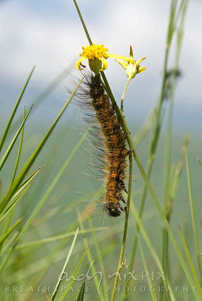 Catapillar on a daisy flower stalk