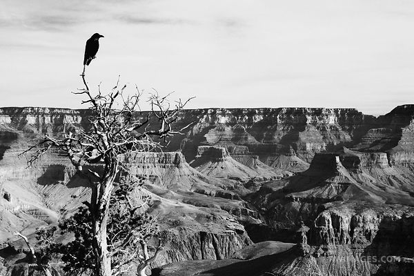 RAVEN SOUTH KAIBAB TRAIL GRAND CANYON NATIONAL PARK ARIZONA BLACK AND WHITE