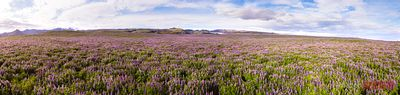 Aerial panoramic of lupin fields in summer, Iceland