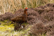 Red Grouse, lagopus lagopus, on heather moorland in early spring, North Yorkshire, UK.
