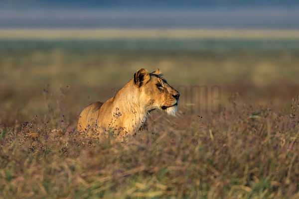 A Lioness Stands in Long Grass