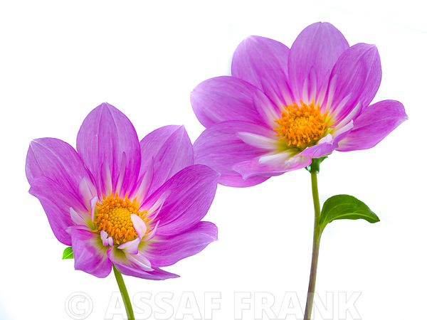 Purple colored Dahila flowers