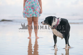 Old dog looking back at owner on beach