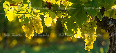 Grape illuminated by the sunlight - autumn scene