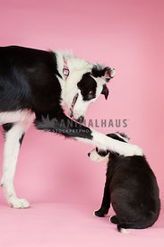 adult border collie comforting puppy