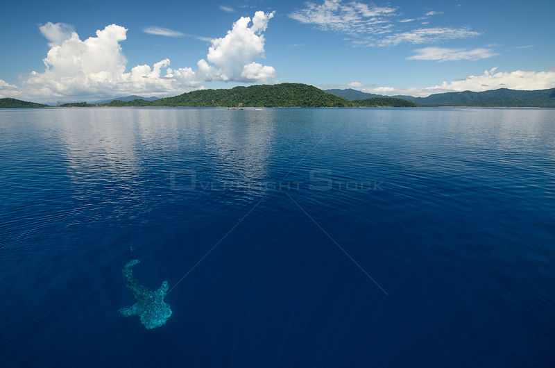 Whale shark (Rhincodon typus) near surface, viewed from above, Cenderawasih Bay, West Papua. Indonesia.