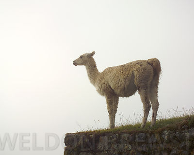 Llama in the Fog
