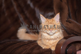 young orange maine coon lying on brown blanket