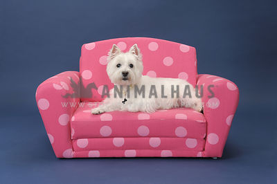 Westie wearing pearls on pink sofa against white background