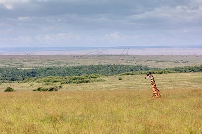 Giraffe Hiding in Tall Kenya Grass