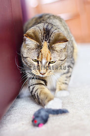 Tabby cat pouncing on mouse toy