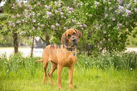 Large dog standing in front of lilac bush