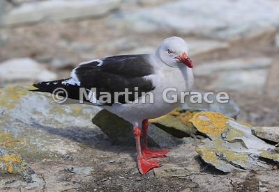 Dolphin Gull (Leucophaeus scoresbii), Sea Lion Island, Falkland Islands