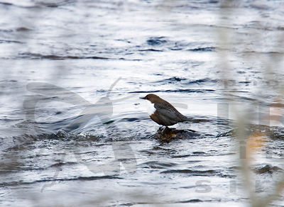 The Dipper in the Siikakoski Rapids