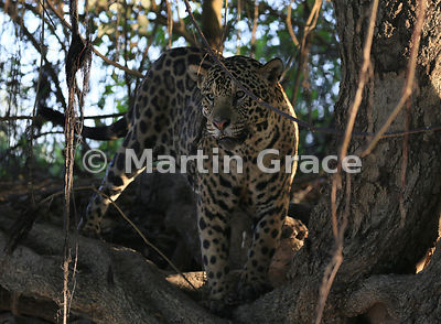 Male Jaguar (Panthera onca) known as Marley conceals himself in the shade at the top of the riverbank, River Cuiabá, Northern...