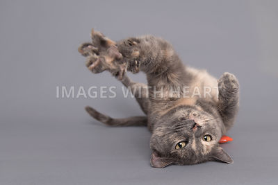 Playful cat lying on back reaching toward camera