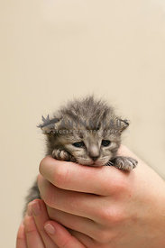 tiny-gray-tabby-kitten-in-hands-indoor