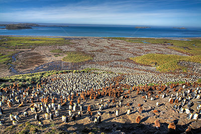 Aerial view of huge colony of King Penguin (Aptenodytes patagonicus) white birds are adults, brown birds are chicks, Salisbur...