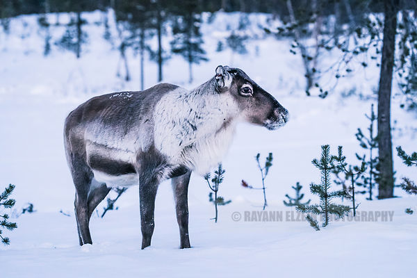 Large male reindeer standing near a frozen lake in Finnish Lapland