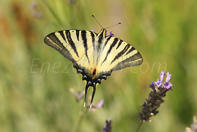 Butterfly & Lavender, Provence