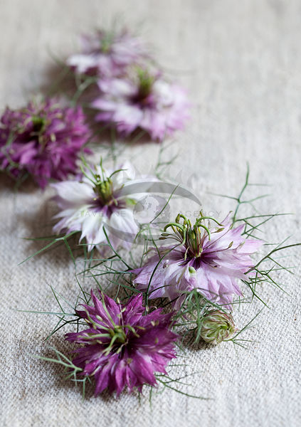 Nigella by Bauer