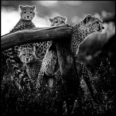 Cheetah cubs and their mother, Kenya 2015 © Laurent Baheux