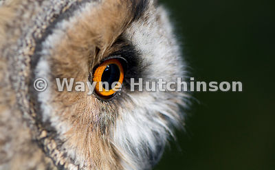 Close of eyes and face of a captive Long Eared Owl. Asio otus.
