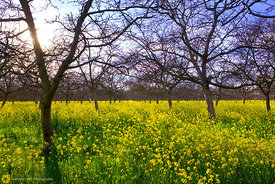Walnut Orchard with Mustard #4