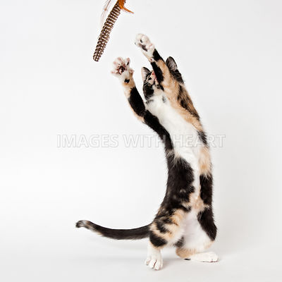 Cat standing on hind legs playing with toy