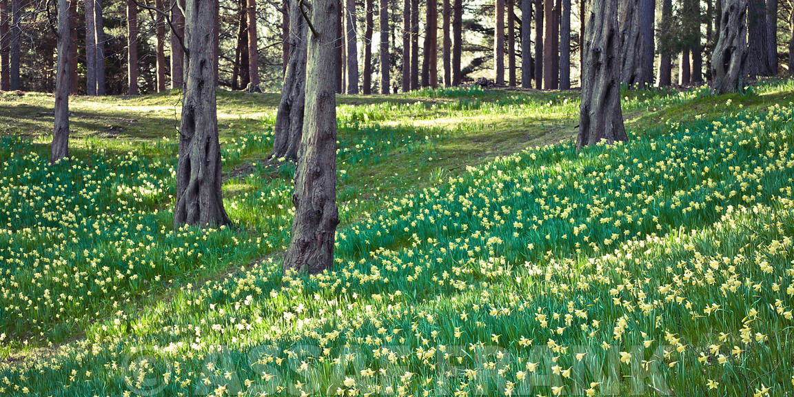Daffodils and trees