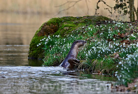European Otter Lutra lutra on River Thet, Thetford Norfolk March