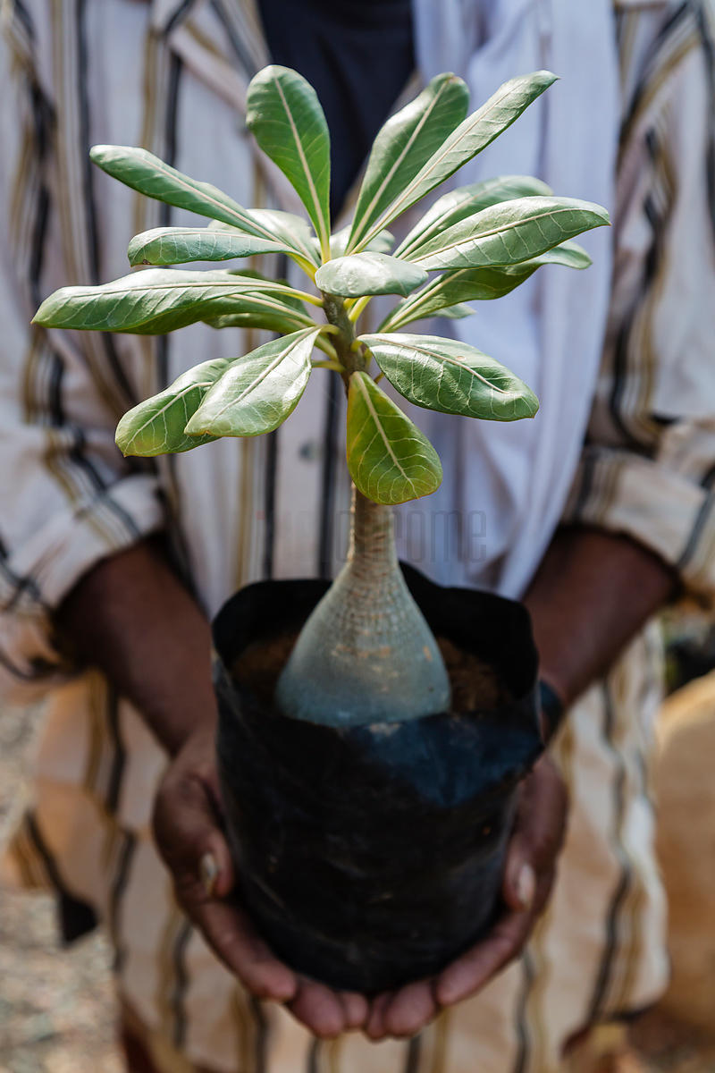 Nursery Owner Hadeeb Holding Endemic Bottle Tree