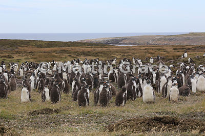 Gentoo Penguin (Pygoscelis papua papua) colony beneath Middle Peak, Pebble Island, Falkland Islands