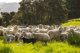 sheep chasing a farm dog