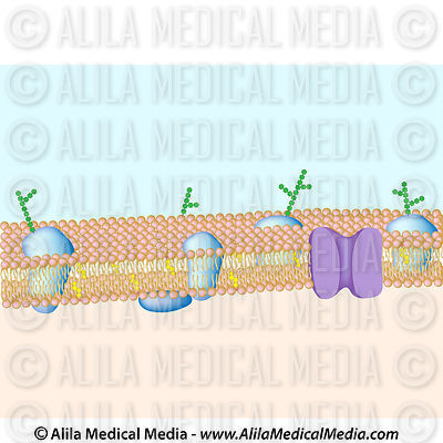 Structure of plasma membrane, unlabeled.