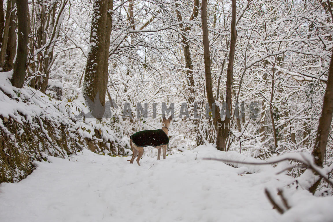 whippet dog on forest path in the snow