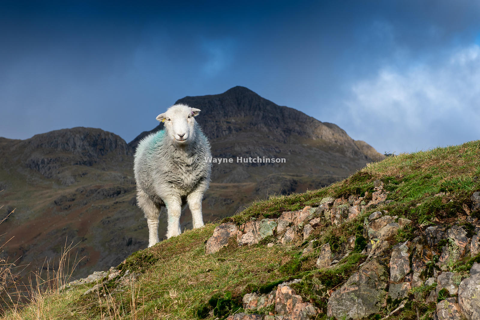 Herdwick sheep grazing fell in the Langdales, after tupping time in early winter. Cumbria, UK