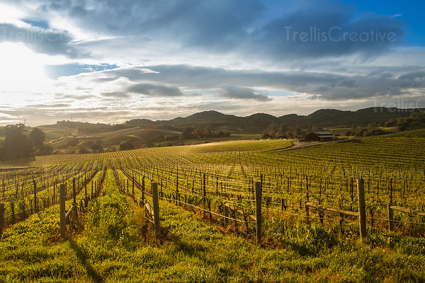 Sunlight filtering through cloudy skies on grapevines in vineyard