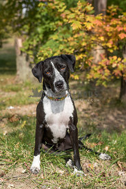 Hound dog mix wearing collar sitting against a autumn background