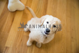 golden Retreiver puppy sitting on hardwood floor looking up at camera
