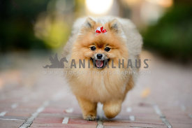 smiling pomeranian trotting down brick path
