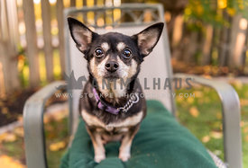 Chihuahua dog sits in chair looking in astonishment at the camera