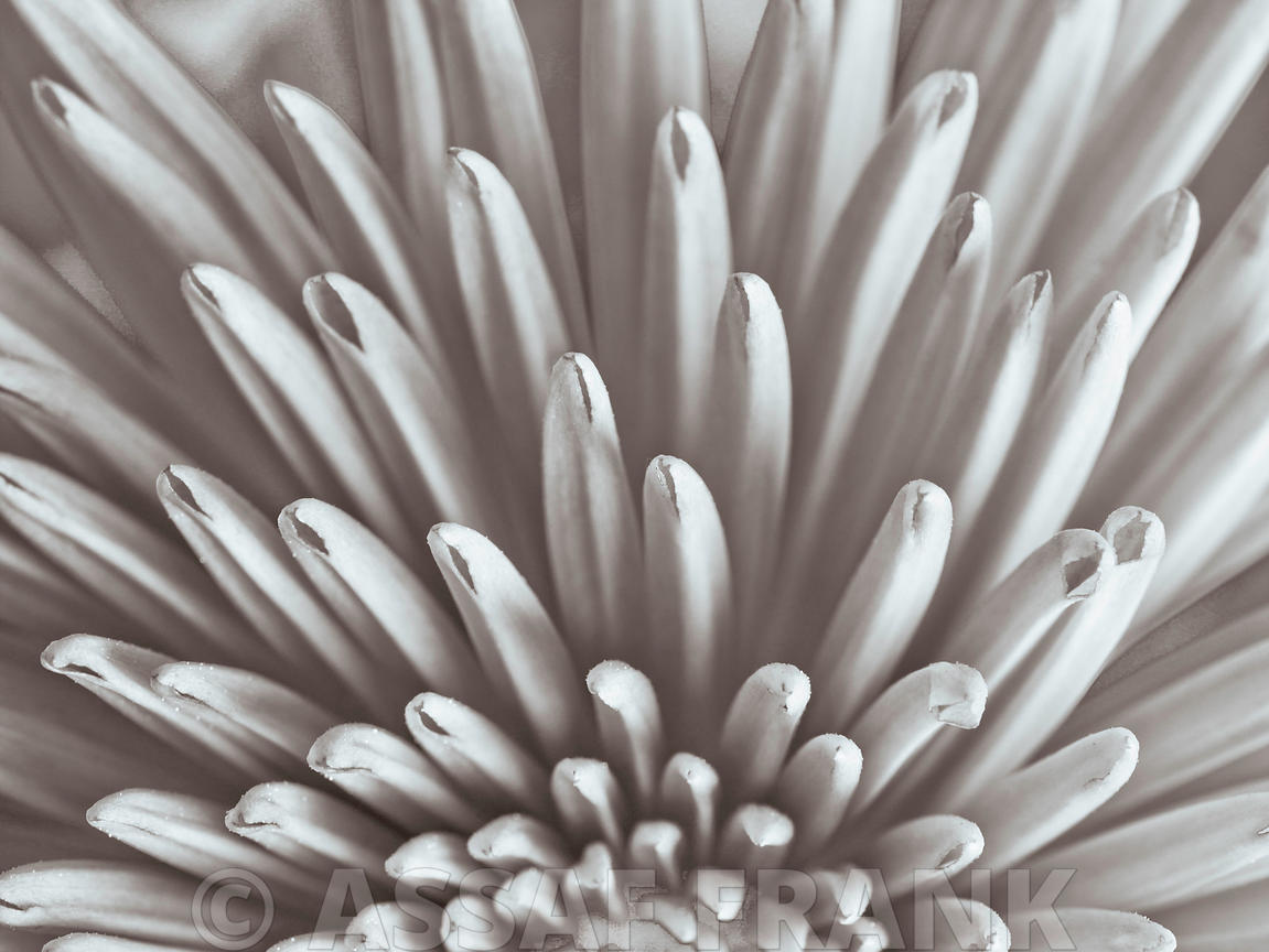 Close-up of Chrysanthemum flower (B&W)