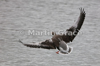 Greylag Goose (Anser anser) in flight, about to land on water, Dumfries & Galloway, Scotland