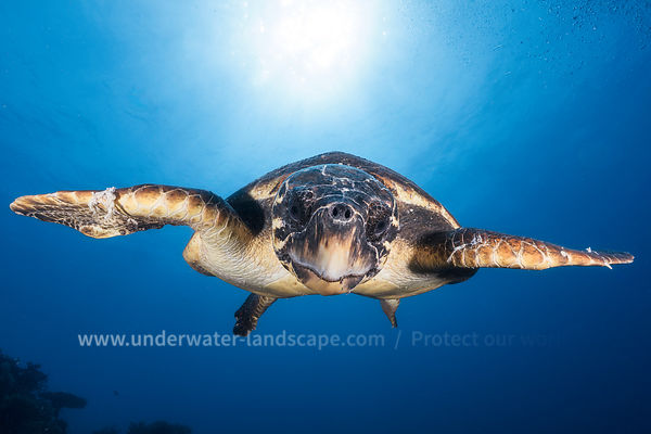 Face to Face with a Loggerhead sea turtle