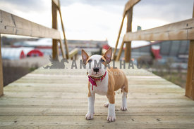 bull terrier puppy, standing on wood walkway