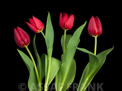 Four Tulips side view